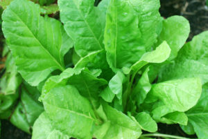 Spinach is low in calories and high in antioxidants